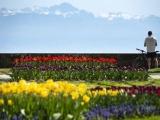 Фестивали тюльпанов в Нидерландах и Швейцарии