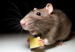 Мышь приняли за русского шпиона