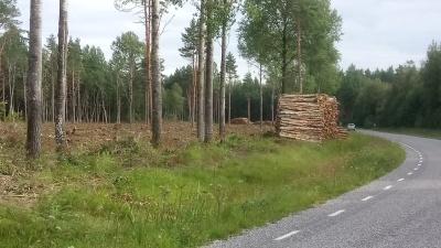 Лесничий о вырубках: лес в Васкнарве был посажен 90 лет назад с целью получения древесины