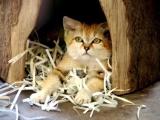 Барханный кот - кот, который всегда остается похожим на котенка