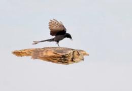Нахальная чёрная птица села прямо во время полёта на спину сове