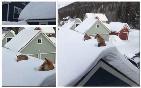 Лисы на крыше