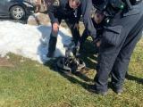 Полицейские пришли на помощь к застрявшему в люке еноту
