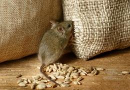 Исчезновение в Украине 2700 вагонов зерна списали на мышей