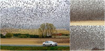Поразительное зрелище: сотни тысяч скворцов над полем во Франции