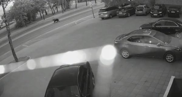 По улицам Нарвы ночью бегал медведь