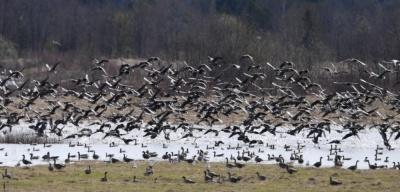 Дикие гуси могут оставить без урожая эстонских фермеров