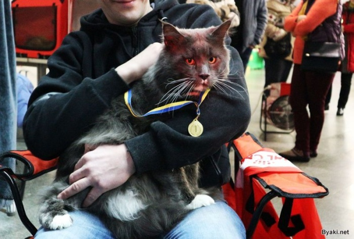 Самый большой кот Украины: 12-килограммовый мейн-кун по кличке Камаз
