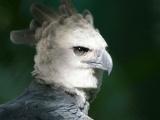 Снимки южноамериканской гарпии, которая больше похожа на человека в костюме