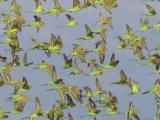 Потрясающее зрелище: 10 000 попугайчиков на водопое