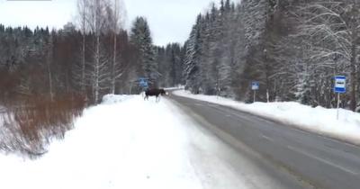 В Карелии появился лось, знакомый с ПДД