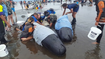 В Новой Зеландии на берег выбросились 400 черных дельфинов