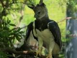 Гарпия — удивительная птица из Южной Америки