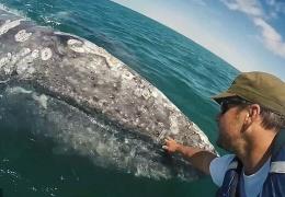 Детеныш серого кита подплыл к людям, чтобы его погладили