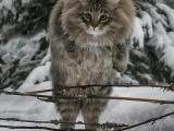 Крутость зашкаливает: финка показала своих шикарных северных котов