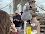 Нью-Йорк заполонили плюшевые коалы