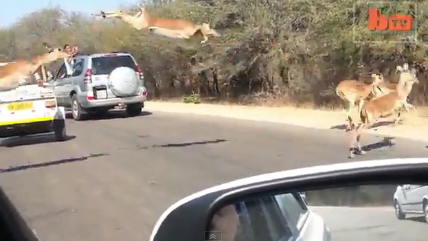 В заповеднике ЮАР внедорожник спас антилопу от гепарда (ВИДЕО)