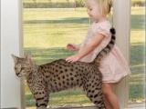 Самая крупная из домашних кошек - Саванна