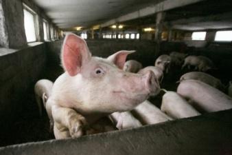 В Эстонии свиная чума добралась до свиноферм, будет уничтожено более 500 животных