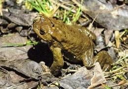 Фонд природы призвал спасти лягушек от гибели под колесами