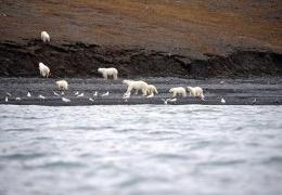 Огромное скопление белых медведей в заповеднике «Остров Врангеля»