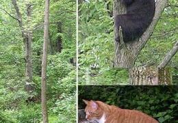 Кот запугавший медведя
