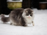 Мейн-кун - самые крупные домашние кошки в мире