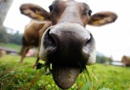 За год закупочные цены на молоко снизились в Эстонии на 3%