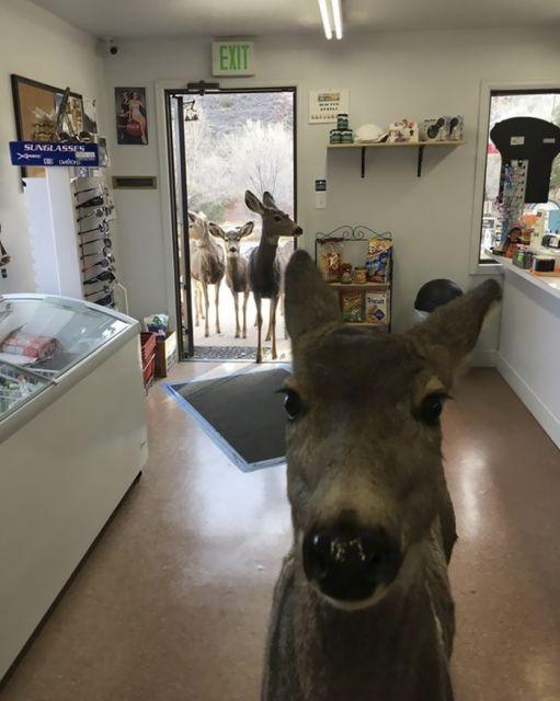 В Колорадо семья оленей пришла в магазин