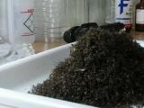В ловушку меньше, чем за сутки попали 26 000 комаров