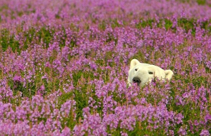 Белые медведи не только в снегу, но и в цветах
