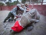 Спасение носорогов, у которых браконьеры безжалостно отпилили рога