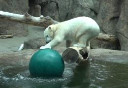 Неуклюжая полярная медведица не может поймать мяч