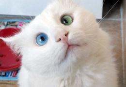 Белоснежный котик с глуповатым, но очаровательным разноцветным взглядом
