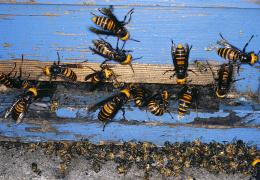 Интересные факты о пчелах-убийцах