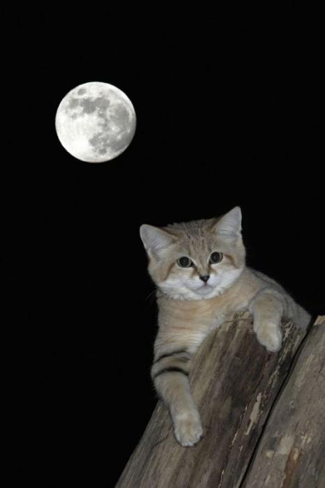 Барханные кошки - милейшие существа, которым грозит вымирание