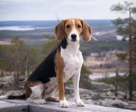 Единственную из выведенных в Эстонии пород собак признали на международном уровне