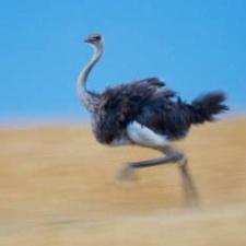 Полиция двух стран объявила страуса вне закона