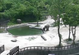 Слон бросается на помощь чтобы спасти малыша.