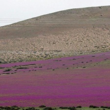 В Чили из-за проливных дождей расцвела пустыня Атакама