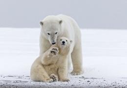Превед, белый медвед!