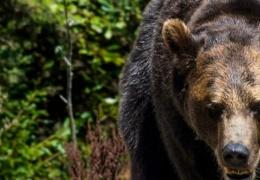 В Красноярском крае от лап медведя погиб 16-летний подросток