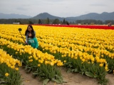 Фестиваль цветущих тюльпанов Skagit Valley Tulip Festival в Вашингтоне. ФОТО