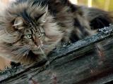 Лесная норвежская: Кошка-викинг с трёхслойной шубой научилась выживать при зубодробительных морозах