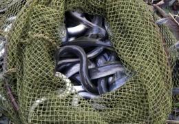Инспекторы вытащили из Наровы почти 4000 незаконных ловушек для миног