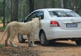 Лев, открывающий двери авто