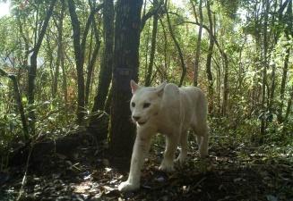 Уникальная мутация: в Бразилии впервые заметили белую пуму
