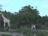 Впервые на видео: белые жирафы