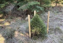 В лесах Алутагузе нашли редкие разновидности елей