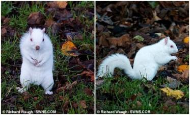 Шотландцу удалось заснять редкую белку-альбиноса